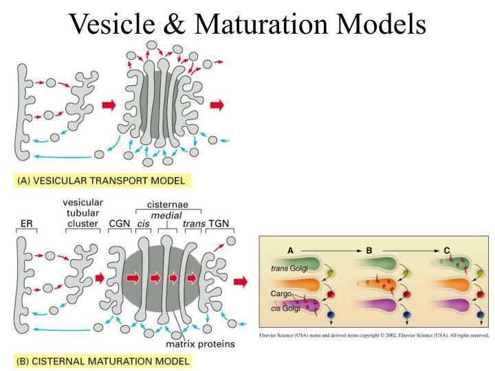 Vesicle & Maturation Models