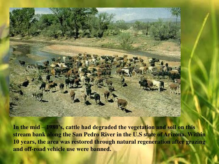In the mid – 1980's, cattle had degraded the vegetation and soil on this stream bank along the San Pedro River in the U.S state of Arizona. Within 10 years, the area was restored through natural regeneration after grazing and off-road vehicle use were banned.