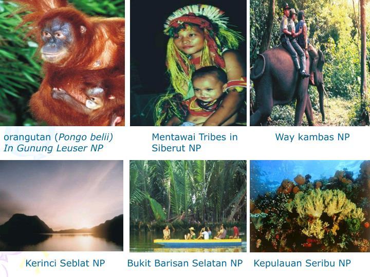 orangutan (