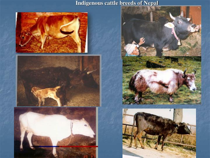 Indigenous cattle breeds of Nepal