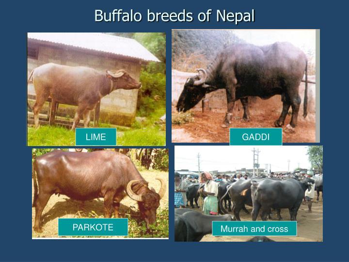 Buffalo breeds of Nepal