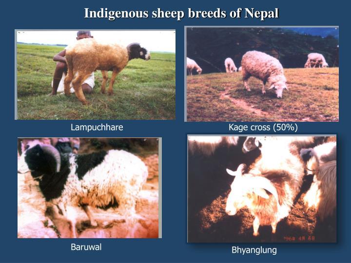 Indigenous sheep breeds of Nepal