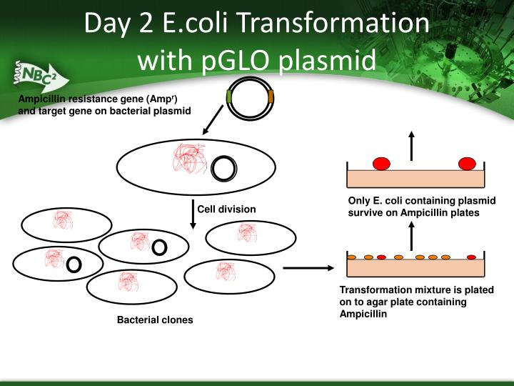 e coli genetic transformation with pglo plasmid essay Genetic transformation of bacteria with genetic transformation, plasmid dna, cloning  inspect the pglo plasmid solution with the uv lamp provided and note your.