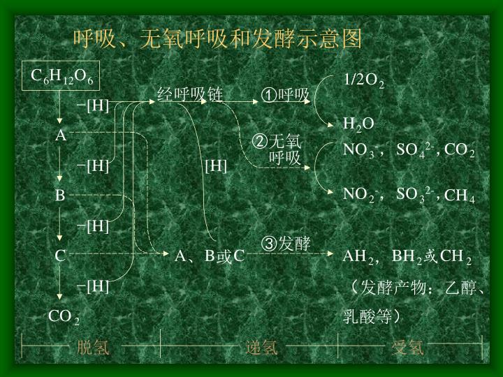 呼吸、无氧呼吸和发酵示意图