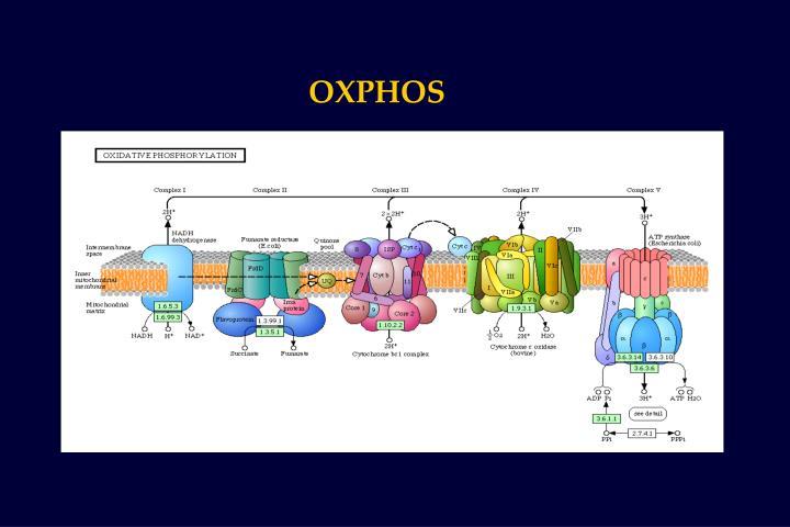 OXPHOS