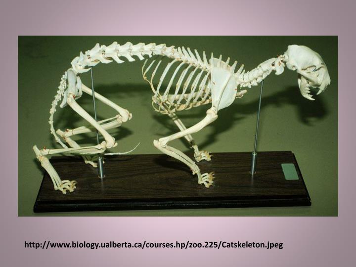 http://www.biology.ualberta.ca/courses.hp/zoo.225/Catskeleton.jpeg