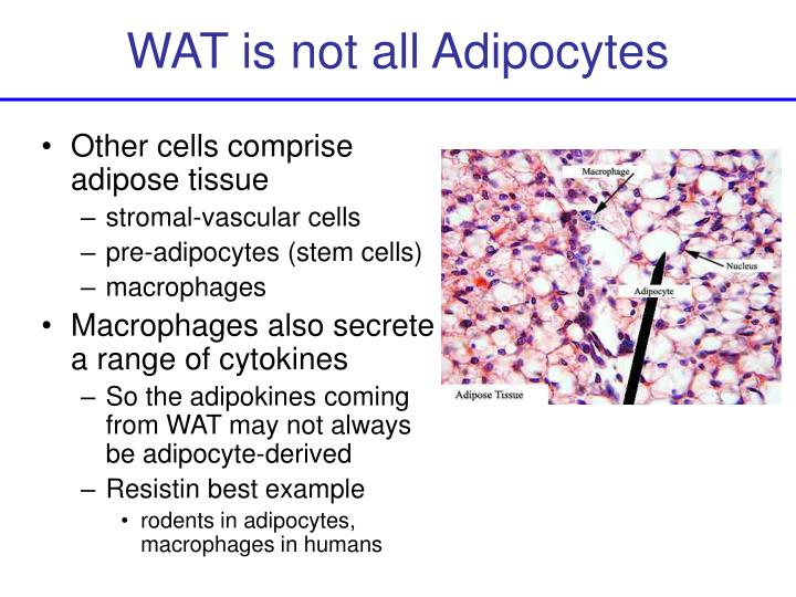 WAT is not all Adipocytes