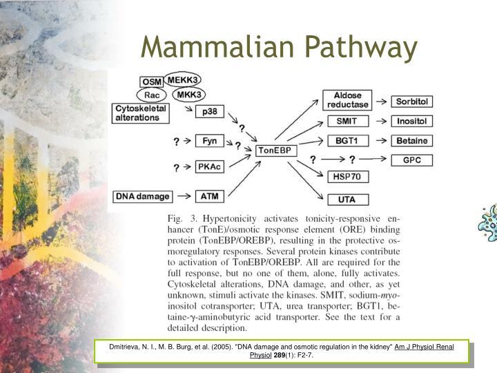 Mammalian Pathway
