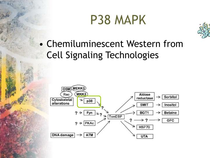 P38 MAPK