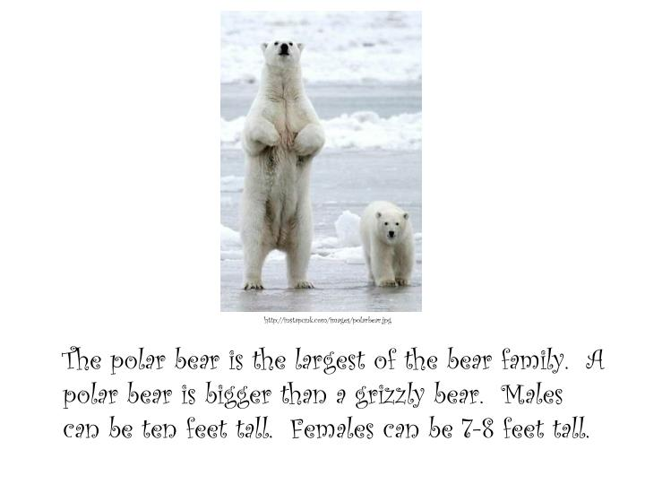 The polar bear is the largest of the bear family.  A polar bear is bigger than a grizzly bear.  Males can be ten feet tall.  Females can be 7-8 feet tall.