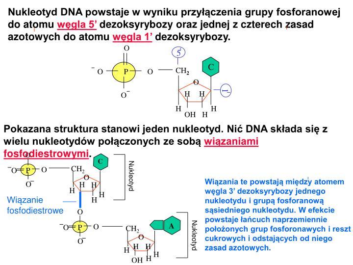 Ppt Struktura I Replikacja Dna U Bakterii Powerpoint Presentation