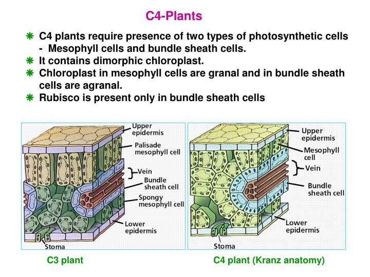 PPT - Photosynthesis PowerPoint Presentation - ID:4436932
