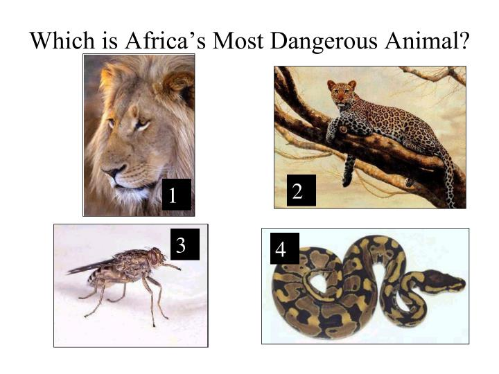 Which is Africa's Most Dangerous Animal?