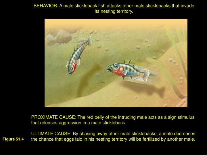 BEHAVIOR: A male stickleback fish attacks other male sticklebacks that invade its nesting territory.