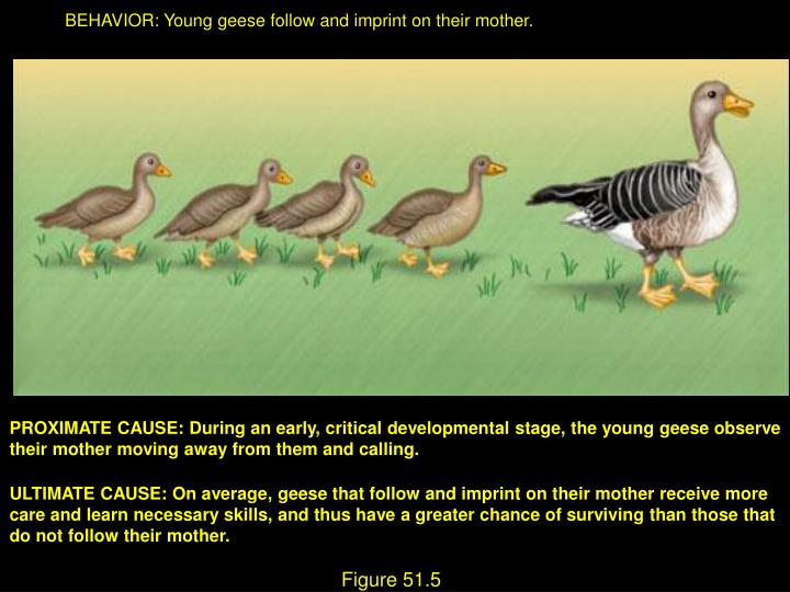 BEHAVIOR: Young geese follow and imprint on their mother.