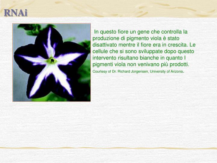 In questo fiore un gene che controlla la produzione di pigmento viola è stato disattivato mentre il fiore era in crescita. Le cellule che si sono sviluppate dopo questo intervento risultano bianche in quanto I pigmenti viola non venivano più prodotti.