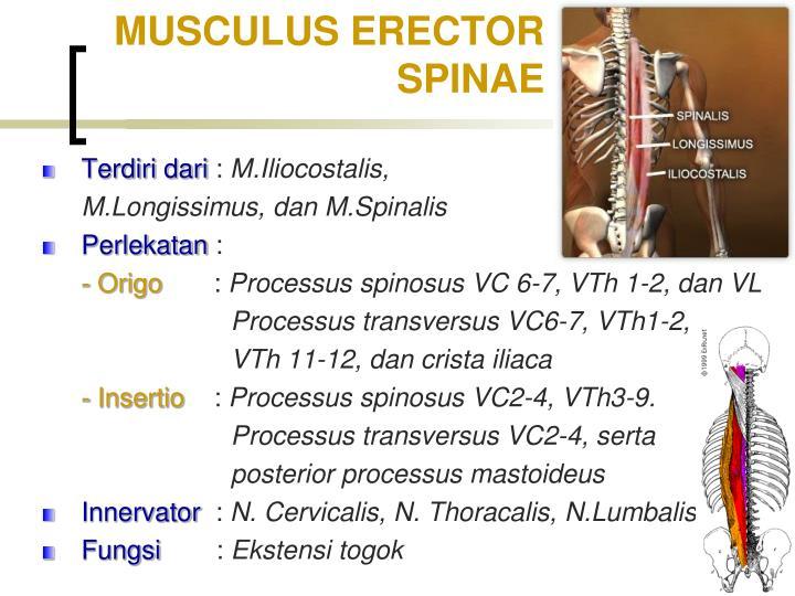 MUSCULUS ERECTOR SPINAE