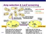amp selection lacz screening