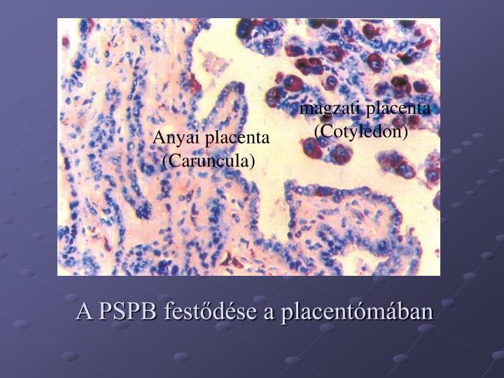 magzati placenta