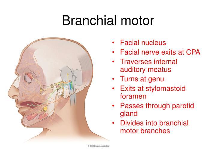 Facial nucleus