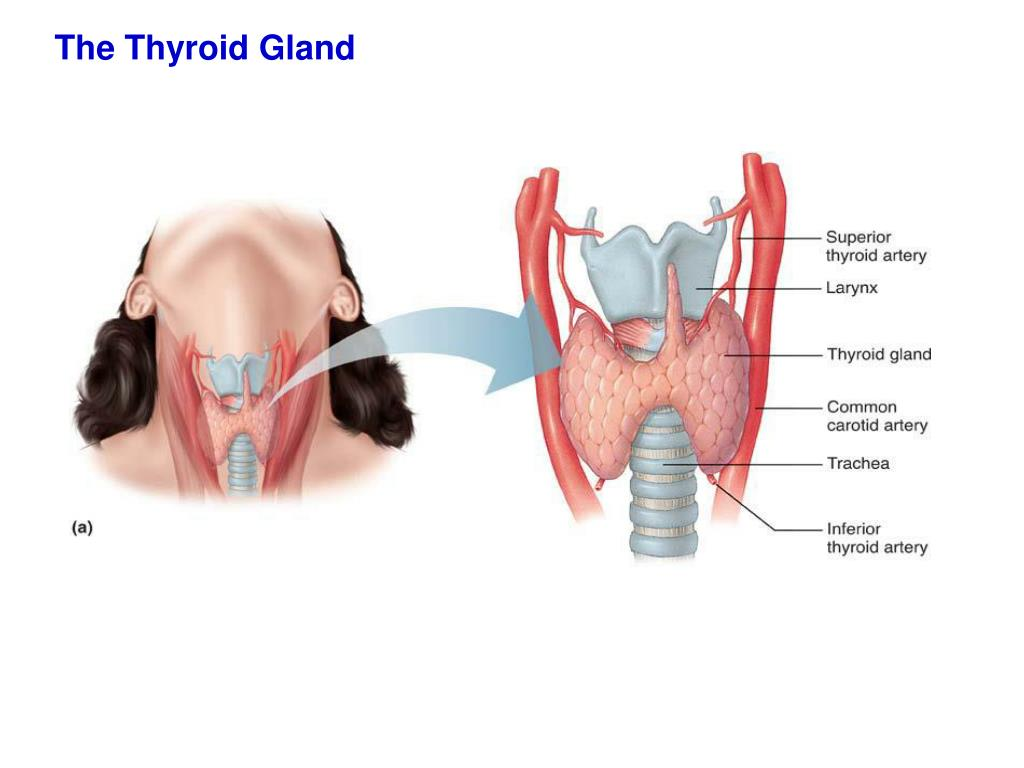 Ppt The Thyroid Gland Powerpoint Presentation Id4446563