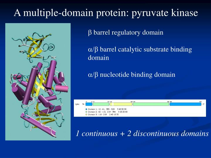 A multiple-domain protein: pyruvate kinase