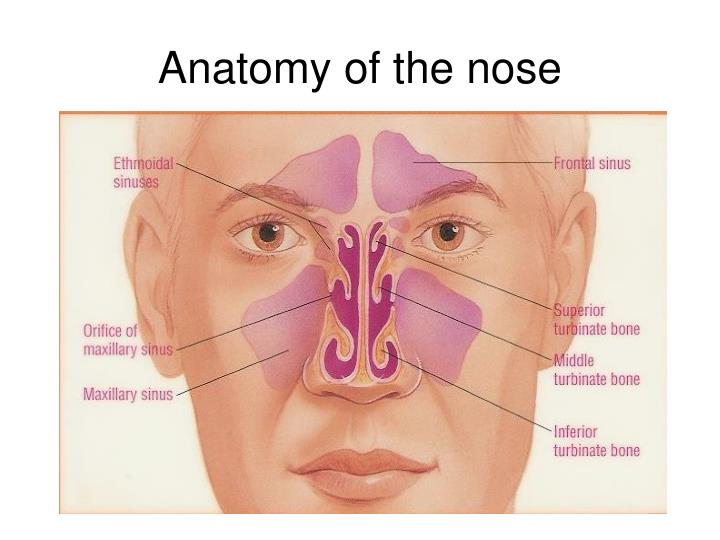 Ppt Anatomy Phisiology And Illnesses Of The Nose And Paranasal