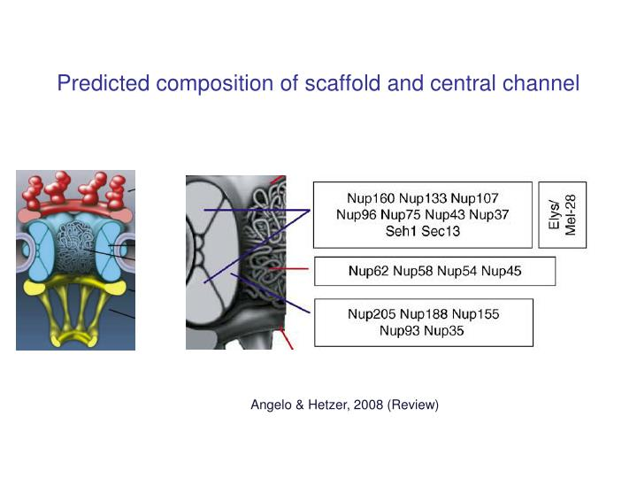 Predicted composition of scaffold and central channel