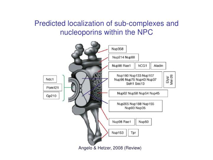 Predicted localization of sub-complexes and nucleoporins within the NPC
