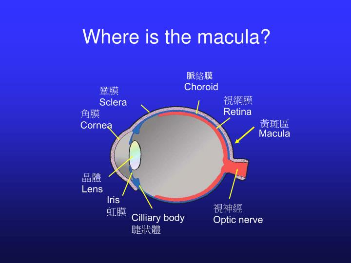 Where is the macula?