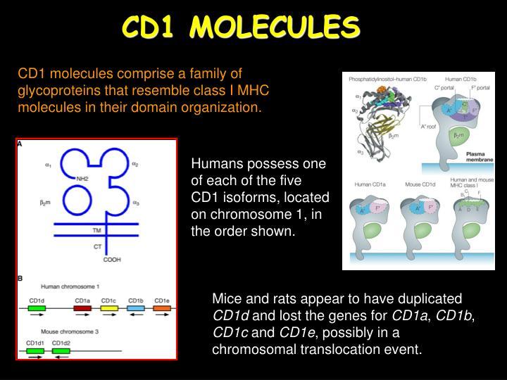 CD1 MOLECULES