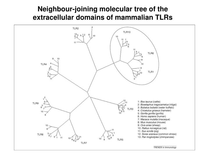 Neighbour-joining molecular tree of the extracellular domains of mammalian TLRs