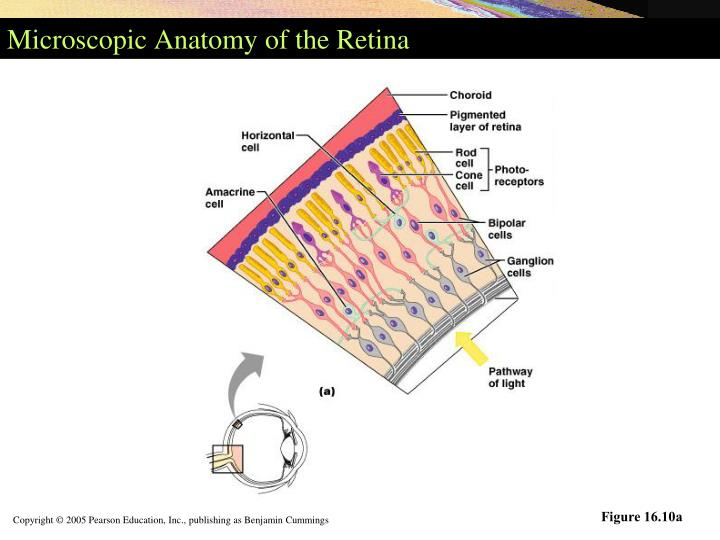 Microscopic Anatomy of the Retina