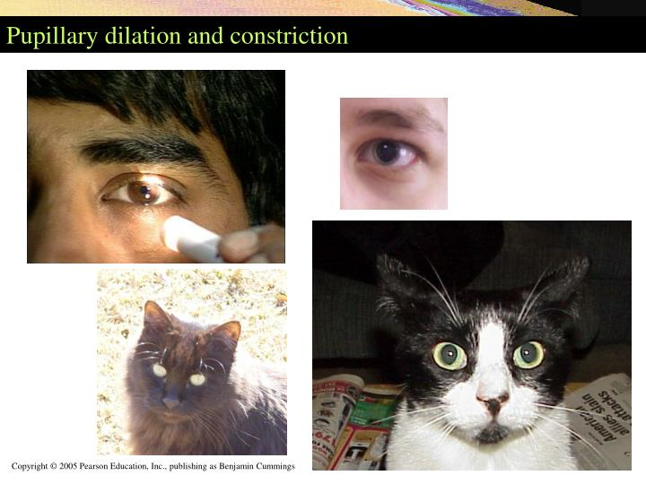 Pupillary dilation and constriction