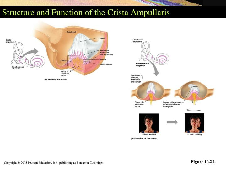 Structure and Function of the Crista Ampullaris