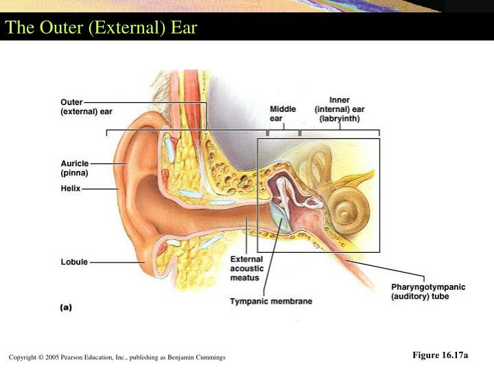 The Outer (External) Ear