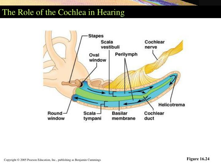 The Role of the Cochlea in Hearing