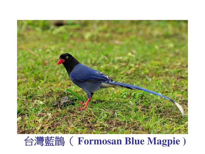 台灣藍鵲(