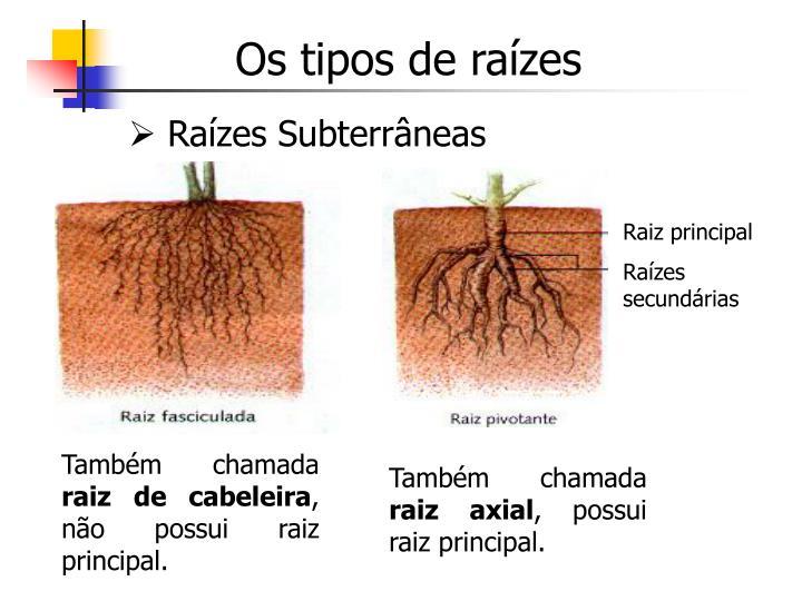 Os tipos de raízes