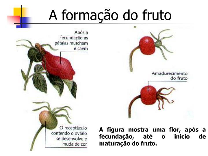 A formação do fruto