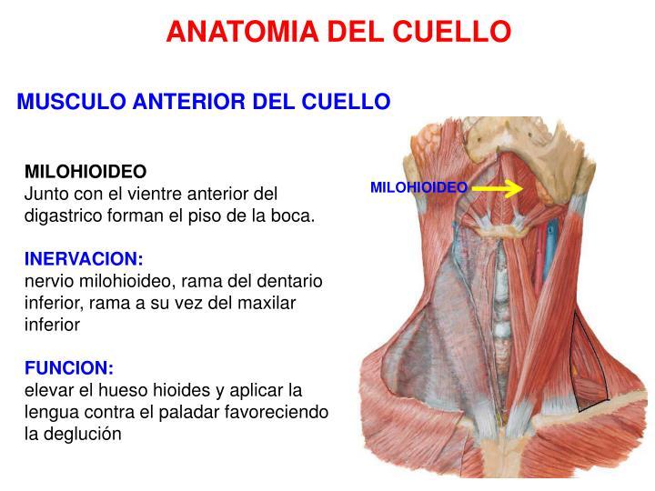 PPT - ANATOMIA DEL CUELLO PowerPoint Presentation - ID:4470399