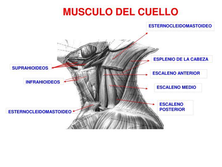 ppt anatomia del cuello powerpoint presentation id4470399