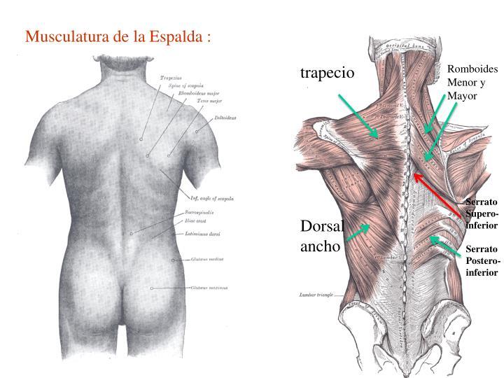 Fantástico Espalda Anatomía Fotos Patrón - Anatomía de Las ...