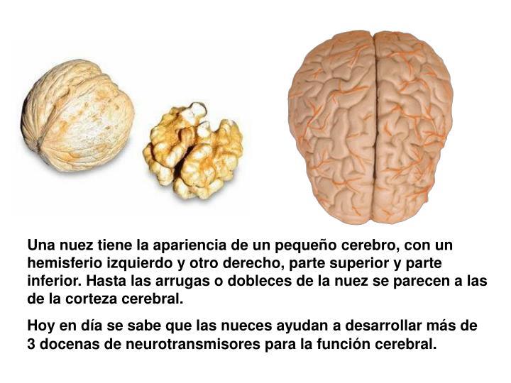 Una nuez tiene la apariencia de un pequeño cerebro, con un hemisferio izquierdo y otro derecho, parte superior y parte inferior. Hasta las arrugas o dobleces de la nuez se parecen a las de la corteza cerebral.