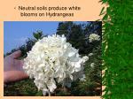 neutral soils produce white blooms on hydrangeas