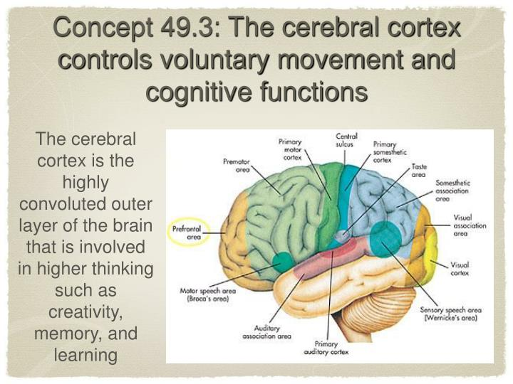 the difference central core of the brain and the cerebral cortex The brain the central core the brain the central core medulla lowest part of from psy 100 at middle east technical the cerebral cortex the cerebral cortex.