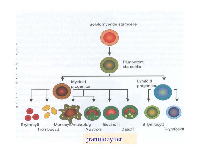 granulocytter