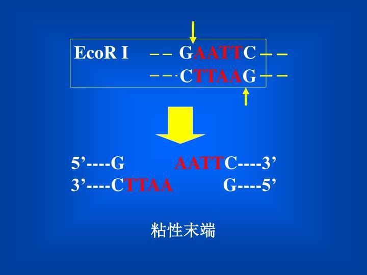 EcoR I           G