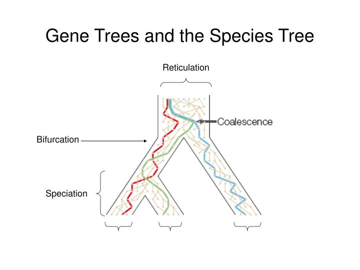 Gene Trees and the Species Tree