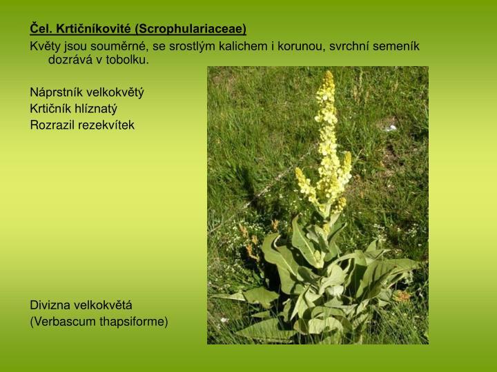 Čel. Krtičníkovité (Scrophulariaceae)